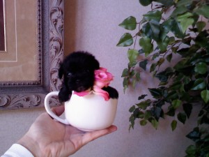 Black Teacup Puppy In A Cup
