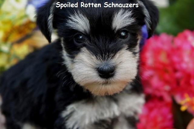 Black And Silver Schnauzer Puppies