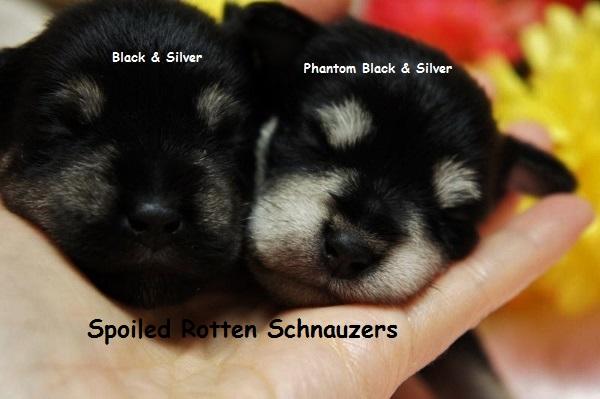 Phantom Black And Silver Schnauzers