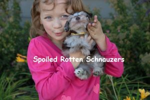 Teacup Puppies, Toy Schnauzers, Teacup Schnauzer Puppies For