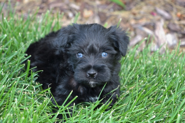 Black Schnauzer Blue Eyes